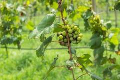 Grape farm. Green grapes in a farm Stock Image