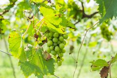 Grape farm. Green grapes in a farm Royalty Free Stock Photo