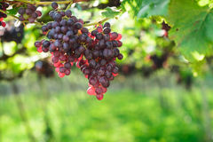 Grape in the farm Royalty Free Stock Images