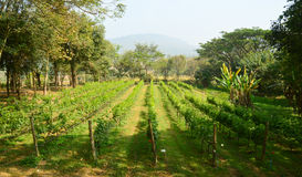 Grape farm. Winery harvest agriculture stock photo