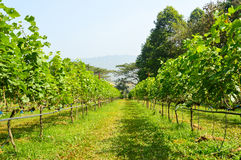 Grape farm. Winery harvest agriculture stock image