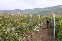 Grape farmer harvesting grapes. Grape farmer in Yunnan province, China, harvesting grapes from vineyard Royalty Free Stock Photo