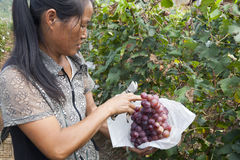 Grape farmer harvesting grapes. Grape farmer in Yunnan province, China, harvesting grapes from vineyard Stock Photography