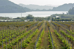 Grape farmland Royalty Free Stock Images