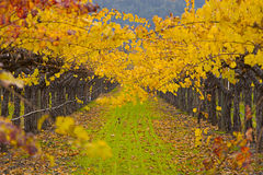 Grape Field. Rows of Grapes Trees in Field stock photography