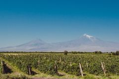 Grape field in Ararat valley. Mount Ararat on background. Grapes harvest. Exploring Armenia. Ecotourism and travel concept. Mounta. In and vineyard landscape Royalty Free Stock Photos
