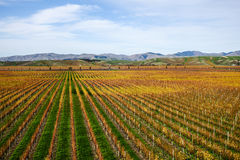 Grape field in Autumn Stock Photography