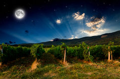 Grape field Royalty Free Stock Images