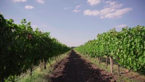 Grape field, rows of vineyards stock video footage