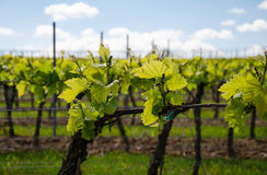 Grape field on the sky background in spring. Grape field on the sky background Stock Photo