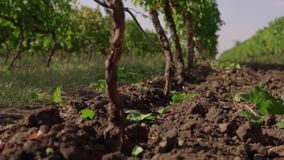 Grape field, vineyard rows stock video