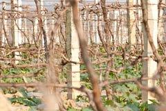 Grape fields Stock Image
