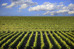 Grape fields and cloudy sky Royalty Free Stock Photo