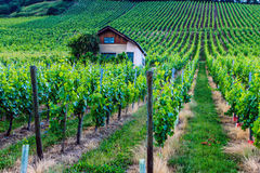 Grape fields in Germany. Stock Image