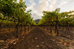 Grape fields of Napa Valley, California, United States. Grape fields of Napa Valley in Autumn. Napa Valley, California, United States Stock Photo