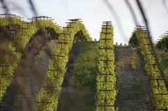 Grape fields napa valley on the way to santa rosa Stock Photo