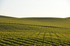 Grape fields napa valley on the way to santa rosa. Grape fields of napa valley on the way to santa rosa Royalty Free Stock Photos