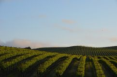 Grape fields napa valley on the way to santa rosa stock photography