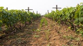 Grape fields Royalty Free Stock Photos