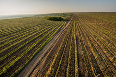 Grape fields in spring and summer in the sun Stock Images