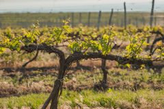 Grape fields in spring and summer Royalty Free Stock Images