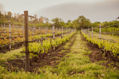 Grape fields in spring and summer in the sun Royalty Free Stock Photo