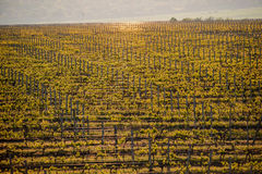 Grape fields in spring and summer in the sun Stock Photos