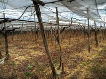 Grape fields. Turi. Apulia. Royalty Free Stock Image