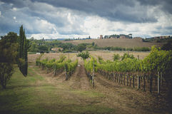 The grape fields in Tuscany, Italy Royalty Free Stock Photos