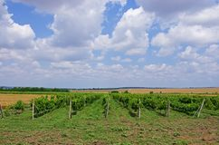 Grape fields. winemaking. agrarian culture. Wine and juices Royalty Free Stock Photo