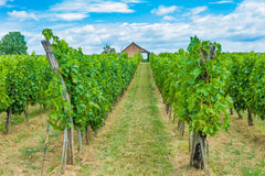Grape fields and wineyard. A winery visible on the end of the grape vine rows against blue sky royalty free stock photos
