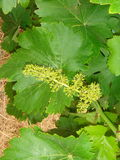 Grape flowers Royalty Free Stock Photography