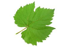 Grape fresh leaf closeup stock photo