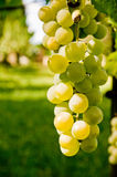 Grape fruit. White grape fruits on green background stock photography