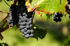 Grape, Fruit, Grapevine Family, Vitis Royalty Free Stock Image