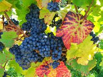 Grape, Fruit, Grapevine Family, Vitis stock photo