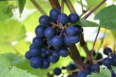 Grape fruit growing on a vine Royalty Free Stock Photos