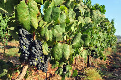 Grape fruit grows in a vineyard Royalty Free Stock Image