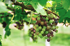 Grape fruit. In the plant Royalty Free Stock Image