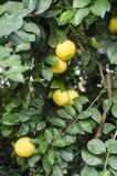 Grape fruit tree Stock Photos