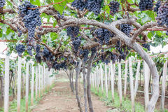 Grape fruit on tree Stock Photos
