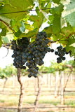 Grape fruit on tree in Vineyards Royalty Free Stock Photos