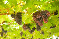 Grape fruit on tree in Vineyards Stock Images