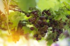 Grape fruit stock image