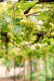 Grape; a fruiting berry;table grape. Grape is a fruiting berry of the deciduous woody vines;Grapes can be eaten fresh as table grapes or they can be used for royalty free stock images