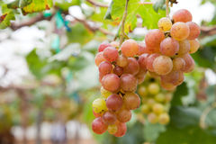 Grape garden. For make some wine royalty free stock images