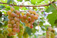 Grape garden. For make some wine stock image
