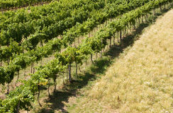 Grape garden. In the south moravia - Czech republic Royalty Free Stock Image