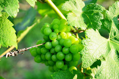 Grape garden at Khao Yai Royalty Free Stock Images