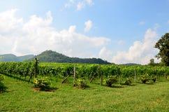 Grape garden at Khao Yai Royalty Free Stock Photography